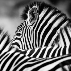 Zebra2 (1 of 1)@0,5x